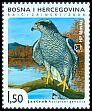 Cl: Northern Goshawk (Accipiter gentilis) <<Jastreb>>  SG 245 (2008) 90