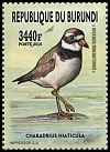 Cl: Common Ringed Plover (Charadrius hiaticula) new (2016)