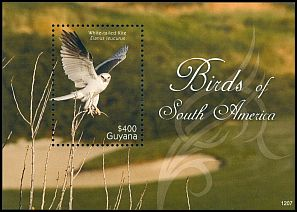 Cl: White-tailed Kite (Elanus leucurus) new (2012)  [7/62]