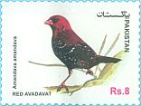 Cl: Red Avadavat (Amandava amandava)(not catalogued)  (2017)