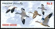 Cl: Snow Goose (Chen caerulescens)(Out of range)  new (2012)  [11/4]