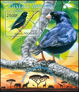 Cl: Pale-winged Indigobird (Vidua wilsoni) new (2013)
