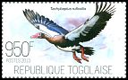 Cl: Spur-winged Goose (Plectropterus gambensis) new (2013)